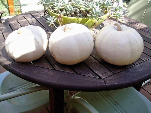 Plain pumpkins